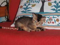 Half Abyssinian kitten