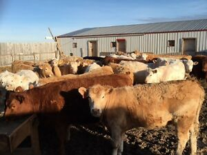 REPLACEMENT HEIFERS