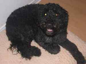 DANJEK PORTUGUESE WATER DOG PUPPIES! West Island Greater Montréal image 4