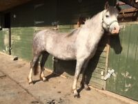 Very Pretty Welsh Section A, 4 year old Mare, WPS Registered, Vaccinated, Ready to move on.