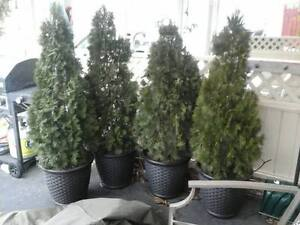 Cedar trees in planters - $35 each or $180 for 6 - (in Osoyoos)