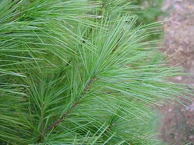 White Pine Needle / Medicinal Herb / 24 Tea -