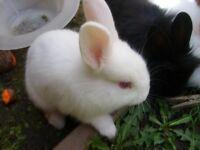 White lion head rabbit 10 weeks old