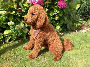 Wanted 12-20 lb (when grown) male poodle puppy or young dog