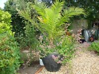 Frost Free Stone Pots & Date Palm