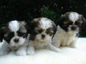 Shih-tzu pups