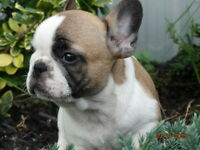 French Bulldog Puppies Registered Breeder