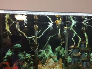 7 Angel fish for $35  / 7 poissons anges