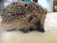 Wanted - Any toys, soft or otherwise needed to help raise funds for Hedgehog Sanctuary, Can Collect!
