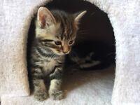 Stunning Little Boy Kitten