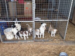 Border Collie Pup  Can Deliver To Forest Lake Brisbane On 3/10/16 Warwick Southern Downs Preview