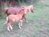 6yo chesnut pony mare 10.2hh pedigree with filly foal at foot