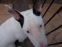 Wanted English bull terrier