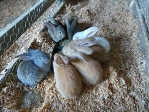 Purebred Flemish Giant Rabbits - Ready to Go