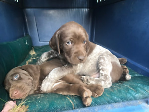 german shorthair pointer pups