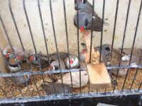 Finches for sale - job lot