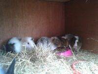 Beautiful teddy guinea pigs ready now for loving homes