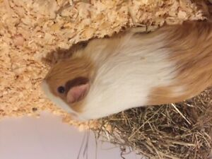 Guinea pig for sale-male-