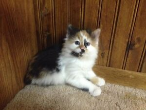 3 Adorable Kittens Looking for New Homes Strathcona County Edmonton Area image 1