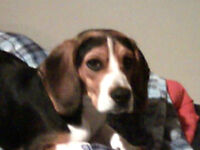 6 Month Old 13inch PureBred Tri Color Male Beagle Pup