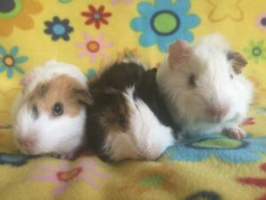 Guinea Pigs Babies Ready to Leave