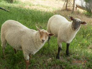 Replacement Ewes and Ram