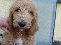 Standard Poodle Puppy K C Registered ONE ONLY