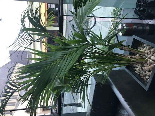 Dypsis Lutescens Potted Plant In Notting Hill London Gumtree
