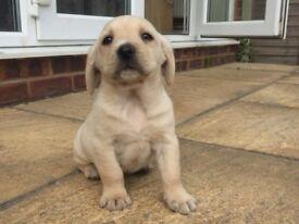 Lab spaniel cross puppies