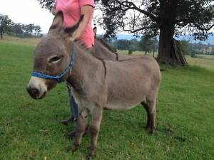 Miniature gelded donkey Wang Wauk Greater Taree Area Preview