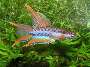 PAIR Rainbow Killi * Aphyosemion Bivittatum * KILLIFISH