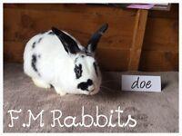 Mix breed rabbit