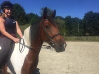 15.2hh Coloured Gelding - Stunning Show/Hunt/jump potential