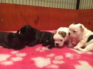 Purebred French Bulldog puppies Hendra Brisbane North East Preview