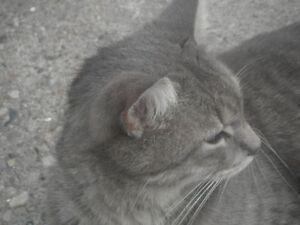 LOST GREY MALE CAT NEAR DUNDAS S / CHAMPLAIN BLVD Cambridge Kitchener Area image 2