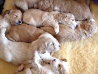 Beautiful F1B Golden Doodle Puppies (Nearly ready)