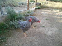 Barred Rock Roosters