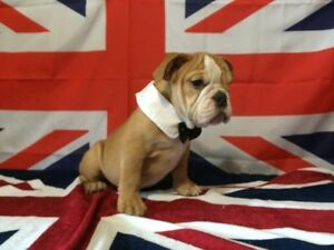 Stunning English Bulldogs and English Bugs