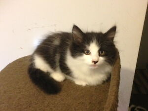 Male Longhair Munchkin Kitten for Sale