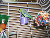 Pacific parrotlet looking for good home