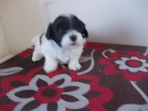 Havanese | Dogs & Puppies for Rehoming | Edmonton | Kijiji