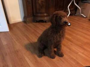 Red Standard Poodle Female Puppies