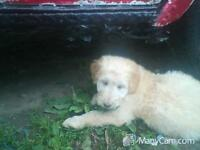 Goldendoodle / Aussiedoodle puppies, Light Gold, Blonde & White