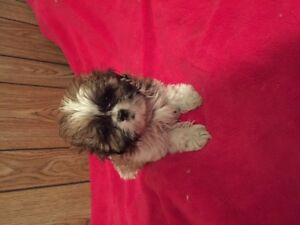 3 Shuzi pups,and 2 Yorkies for sale