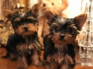 YORKIE PUP AND ONE YORKIE X PUP $1500 to 3000