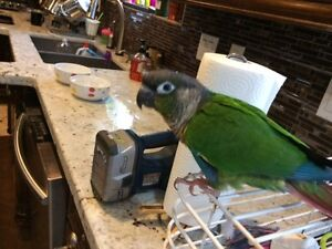 Green Cheek yellow Sided Conures For Sale