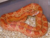 Pair of corn snakes