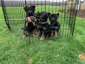 German shepherd babies for sale