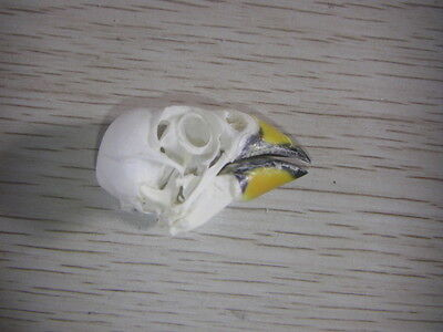 Taxidermy bird skull bones skeleton specimen Arts Crafts Black-tailed Hawfinch#