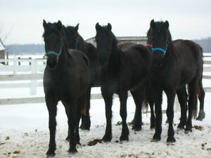 Frison-Canadiens, Friesian Canadian cross